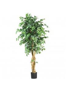 Fig Tree 5-1/2
